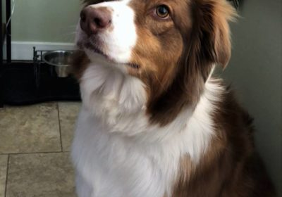 #aussieshepherd, #dogsofbarkbusters #puppytraining