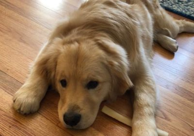 #goldenretrieverdogtraining, #dogsofbarkbusters, barkbustershomedogtraining