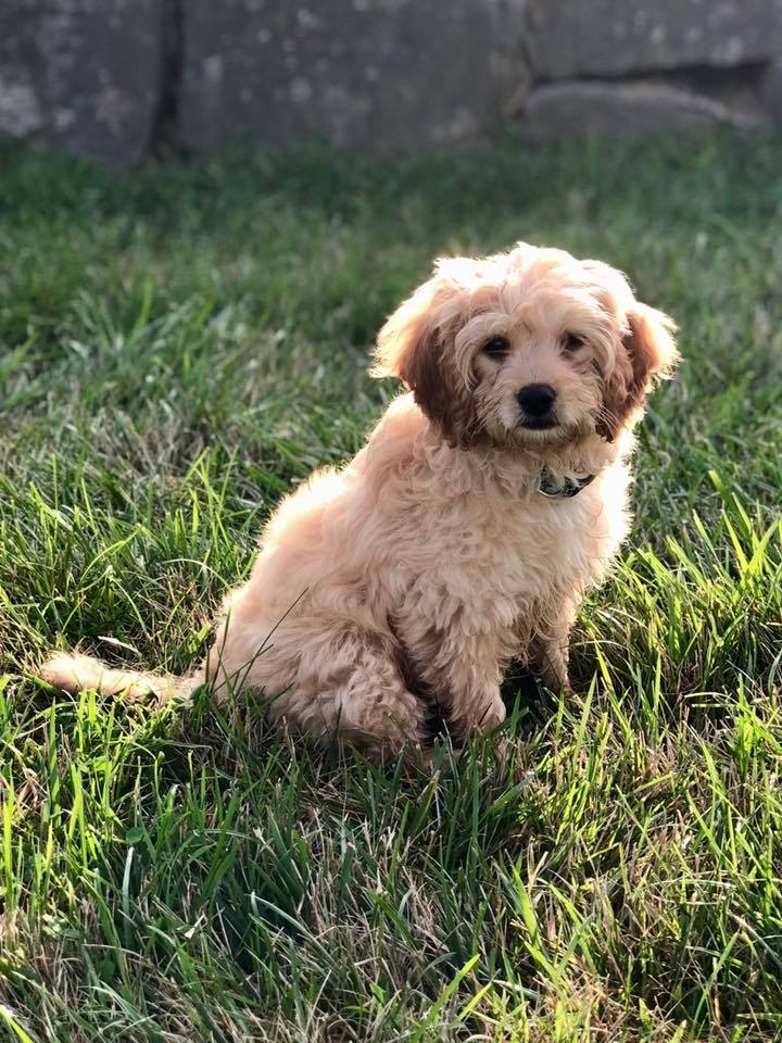 #cavapoodogtraining #bestdogtrainersconnecticut #woodbridgedogtraining
